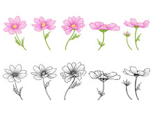 Cosmos Flowers. Set Of Colored And Outline Flowers.Stock Line Vector Illustration.