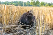 Katze Im Kornfeld