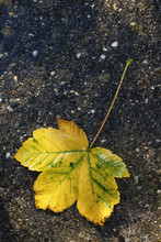 Big Maple Leaf Fallen On The P...