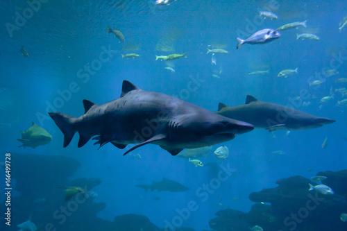 Plakat Niebezpieczne rekiny i ryby w akwarium.