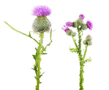 Common Thistle (Cirsium Vulgar...