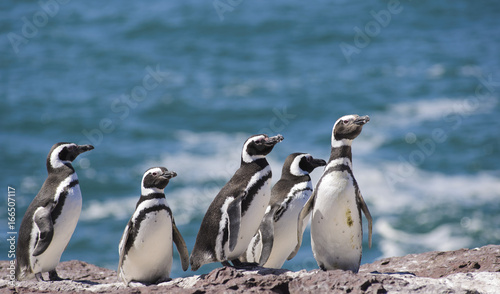 Tuinposter Pinguin Magallanic Penguin