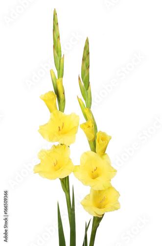 Fotografía Gladioli flowers and foliage