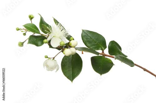 Fototapeta Myrtle flowers and foliage obraz