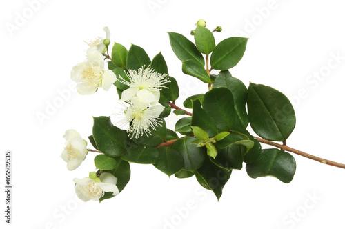 Fototapeta Myrle flowers and foliage obraz