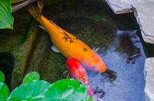 Large Golden, Black And Orange Koi And Oranda Goldfish Peek Out From Under Lily Pads. Trees Reflection In Water. Beautiful Koi In Pond, Top View, Close Up.