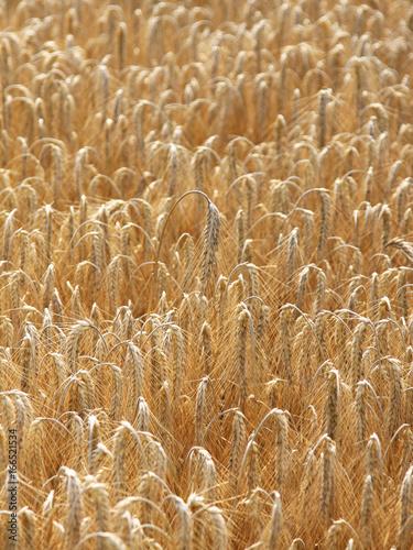 Fotografie, Obraz  corn filed