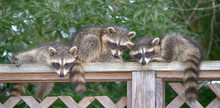 Three Baby Raccoons