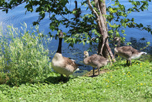 Canadian Geese And Little Gosl...