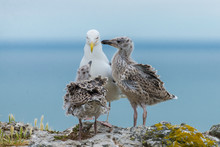 Seagull Feeding Its Youngs, Babies On The Cliffs, Chicks