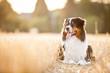 canvas print picture - Hund liegt in einem Feld aus Stroh auf dem Boden und guckt zur Seite