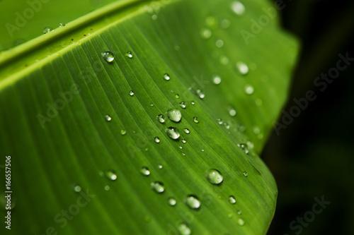 Fotografering  Foglia di banano con gocce d'acqua
