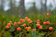 Cloudberry Grow In The Forest In Russia