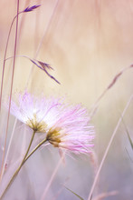 Two Gentle Pink Fluff Flowers ...