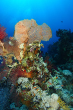 Yellow Gorgonia Over The Coral...