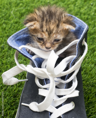 Fotografia, Obraz  Gatito dentro de un zapato
