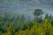 Green tree forest background, beautiful view on fresh pines