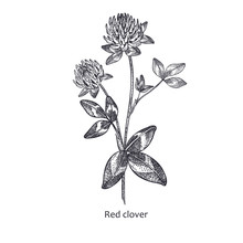 Medical Plant Red Clover.
