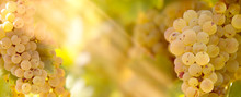 Grape Riesling (wine Grape) On Grapevine In Vineyard Lit By Sunlight-sun Rays