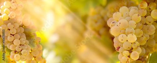 Fotobehang Wijngaard Grape Riesling (wine grape) on grapevine in vineyard lit by sunlight-sun rays