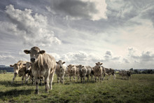 Charolais Bullocks On A Yorkshire Farm