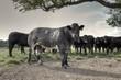 canvas print picture - Belgian Blue Bullocks on a Yorkshire Farm