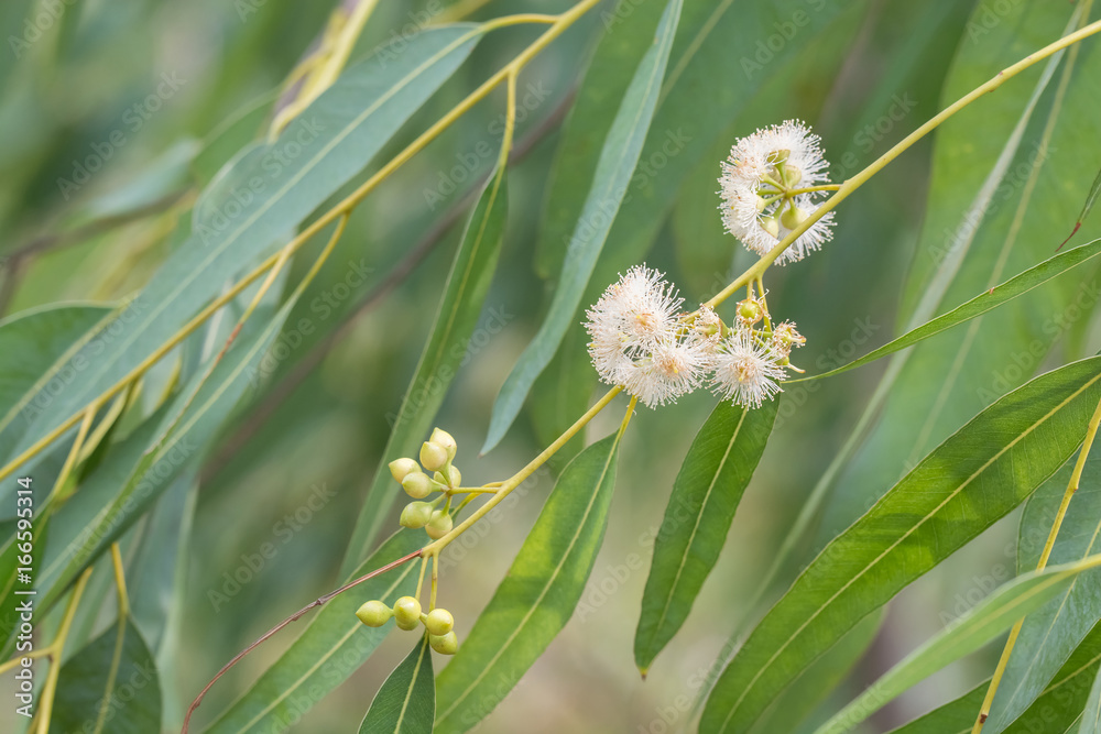 Fototapety, obrazy: Eucalyptus flower and leaves green background