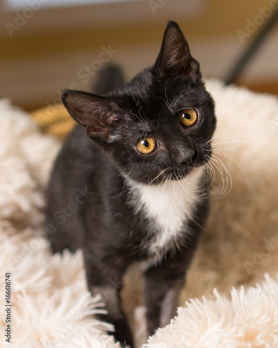 Young Black And White Domestic Short Medium Hair Kitten Cat Feline