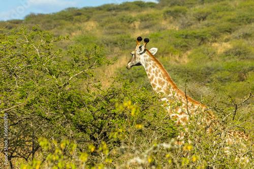 Giraffes Trees Wildlife Landscape Poster