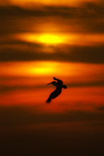 Silhouette Of A Pelican Flying...