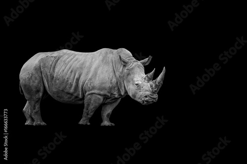 Isolated Black and White Rhino with Copy Space