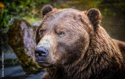 Fotografie, Obraz  Ursus arctos sitkensis