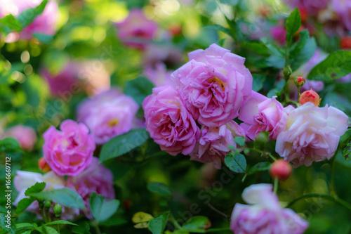 Garten Im Sommer Rosen Blüte Name Ghislaine Feuerwerk Buy
