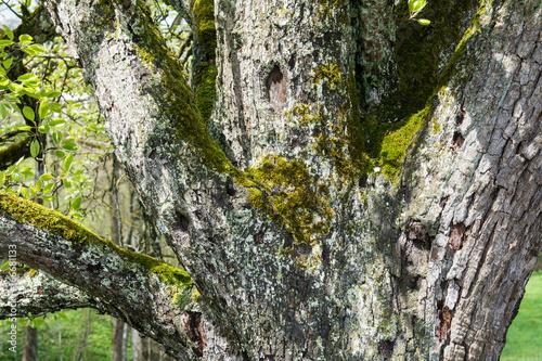 Bemooste Rinde von altem Birnbaum