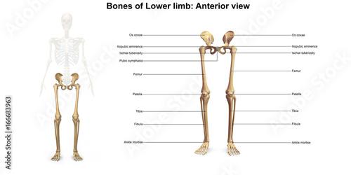 Obraz na płótnie Skeleton_Lower limb_Anterior view