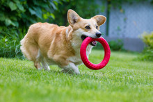 Corgi Runs Along The Backyard ...