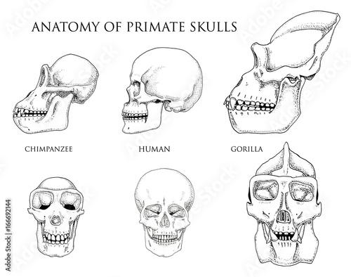Monkey Skull Diagram