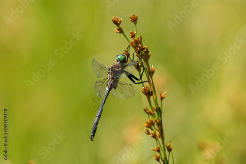 Hine's Emerald Dargonfly