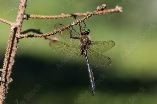 Hine's Emerald Dargonfly