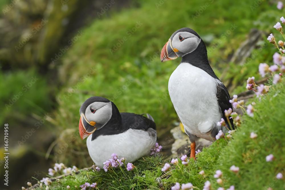 Fotografie, Obraz Atlantic Puffin - Fratercula arctica, Shetlands, United Kingdome
