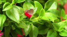 Gray Hairstreak Butterfly Walks