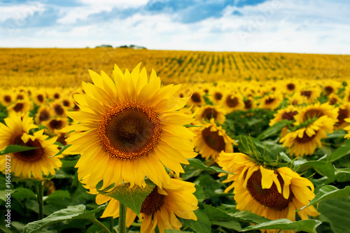 Poster de jardin Tournesol Sunflower field landscape