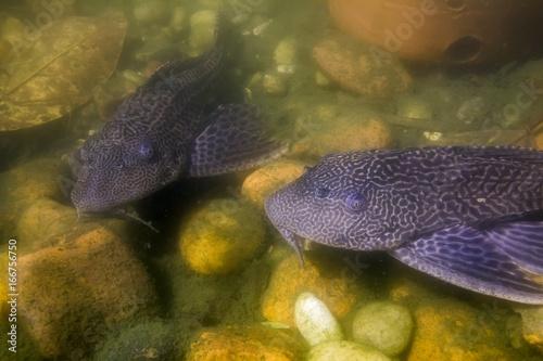 Amazon sailfin catfish Canvas Print