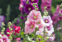 Variety Of Mallow Flowers On The Flowerbed, Colorful Summer Background