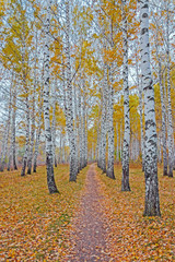 Panel Szklany Podświetlane Brzoza autumn birch forest