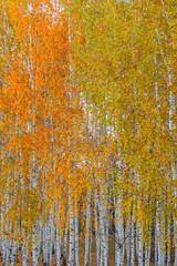 Fototapeta Las autumn birch forest