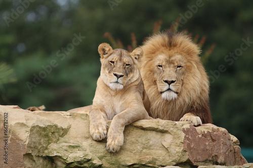 Fotobehang Leeuw Couple de Lions