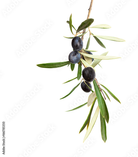 Natural Olive branch with black olives and  leaves  isolated on white background