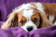 canvas print picture - Cavalier King Charles Spaniel