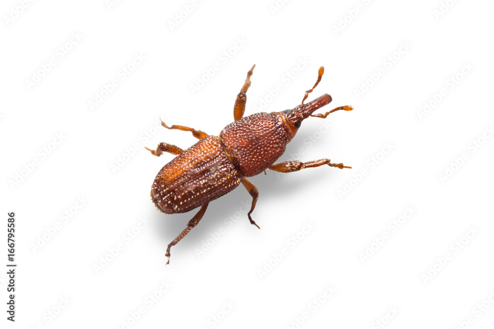 Fototapety, obrazy: Rice weevils (Sitophilus oryzae)